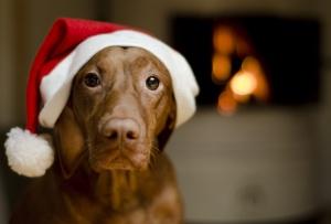 Beautiful female Vizsla dog dressed in a santa hat.