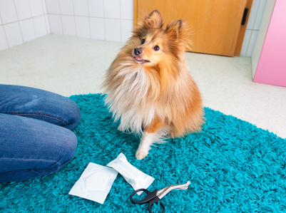human bandage a shetland sheepdog in bathroom