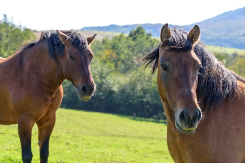a-pair-of-horses-3237716_1280