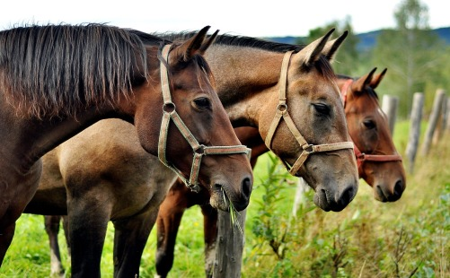 horses-2962718_1280
