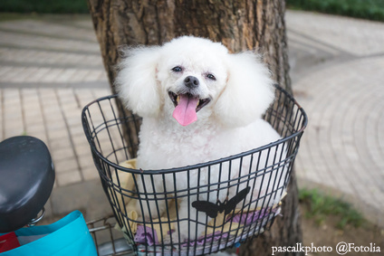 cute white poodle sitting on bike basket and smiling