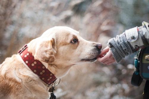 Hund-Larador-Blog-Schilddrüsenerkrankung-Schildddrüse-Gesundheit-Hundetraining