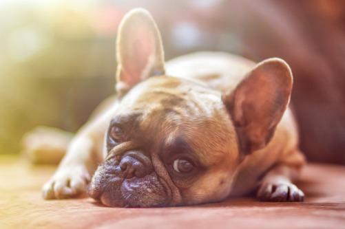 Hund-Schilddrüsenprobleme-Schilddrüse-Hundetraining-FranzösischeBulldogge