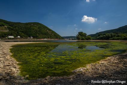Blaualgen im Rhein