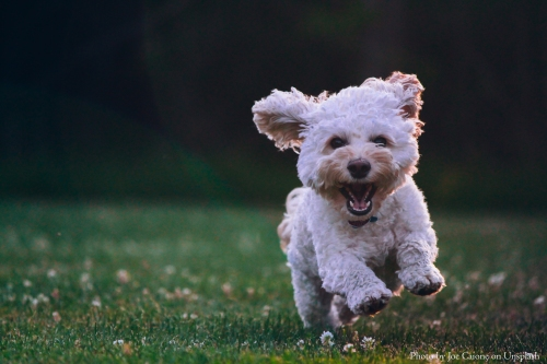 Unspash_Rückruftraining_Rückruf_Hundeschule_Hundetraining_Terrier